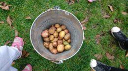 Wiadro na trawie pełne ziemniaków
