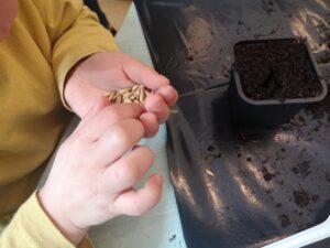dziecko trzyma w dłoniach nasiona owsa