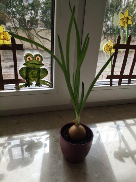 Na parapecie stoi doniczka, w której rośnie cebulka. w tle ozdobione okna
